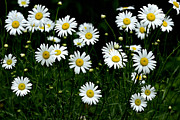Ox-eye Prints - Ox-Eye Daisy Print by Thomas R Fletcher