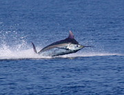 Blue Marlin Photo Metal Prints - Pacific Blue Metal Print by Carol Lynne