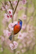 Bunting Posters - Painted Bunting in Spring Poster by Bonnie Barry