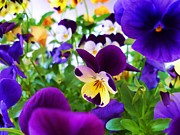 Coloured Flowers Prints - Pansies Print by Sharon Lisa Clarke