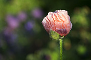 Dew Prints - Papaver orientale Carneum Poppy Print by Tim Gainey