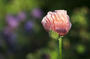 Papaver Orientale Carneum Poppy Print by Tim Gainey