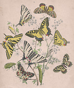 Butterfly Drawings Framed Prints - Papilionidae Framed Print by W Kirby