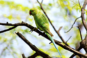 Parakeet Digital Art Posters - Parakeet in the Wild Poster by Pravine Chester