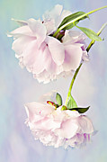 Pale Pink Posters - Pastel Peonies Poster by Theresa Tahara
