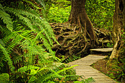 British Columbia Photo Framed Prints - Path in temperate rainforest Framed Print by Elena Elisseeva