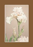 Michael Peychich - Peach Iris