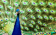 Cathy Donohoue - Peacock