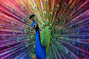 Rooster Photos - Peacock by Hannes Cmarits