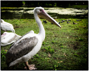 Pond In Park Prints - Pelican Print by A Souppes