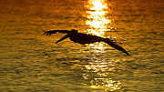 Alexander Galiano Art - Pelican at Sunset by Alexander Galiano