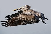 Pelican In Flight Print by Paulette  Thomas