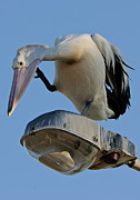 Australian Wildlife Prints - Pelican  on Street Lights Print by Michael  Nau