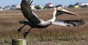 Pelican Take Off Print by Paulette  Thomas