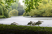 Pond In Park Prints - Pelicans in the rain St Jamess Park Print by A Souppes