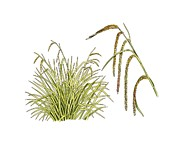 Pendulous Sedge (carex Pendula) Print by Science Photo Library