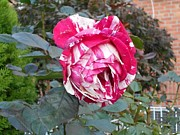 Roze Prints - Peppermint Rose Print by Carolyn Quinn