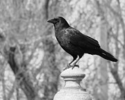 Gothicolors Donna Snyder - Perched Crow