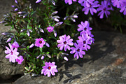 Purple Phlox Framed Prints - Phlox Framed Print by Christina Rollo
