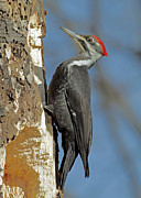 Jim Nelson Posters - Pileated Woodpecker Poster by Jim Nelson
