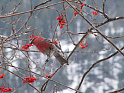 Leones Posters - Pine Grosbeak and Mountain Ash Poster by Leone Lund