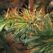 Pine Needles Photos - Pine Needles by   FLJohnson Photography