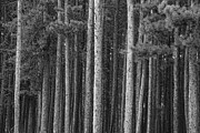 James BO  Insogna - Pine Tree Forest