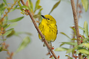 Wood Warbler Framed Prints - Pine Warbler Framed Print by Alan Lenk