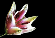 Stephen Cordory - Pink and white lily