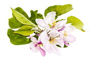 Fruit Tree Metal Prints - Pink apple blossoms Metal Print by Elena Elisseeva
