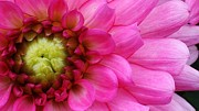 Pink Beauty Print by Bruce Bley