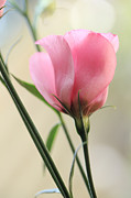 HJBH Photography - Pink Beauty