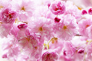 Pink Cherry Blossoms  Print by Elena Elisseeva