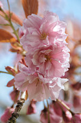 Flower Works Photos - Pink Cherry Blossoms by Sarah Schroder