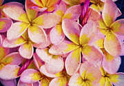 Sheila Smart - Pink frangipani
