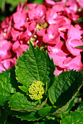Gaspar Avila Art - Pink hydrangea by Gaspar Avila
