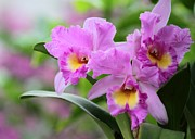 Sabrina L Ryan Metal Prints - Pink Orchids Metal Print by Sabrina L Ryan