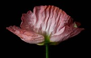 Carol Welsh - Pink Poppy
