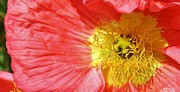 Pink Poppy Close Up Print by Bruce Bley