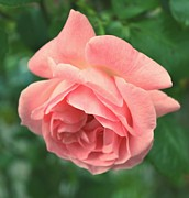 Pink - Pink Rose by Cathie Tyler