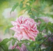 Kim Hojnacki - Pink Rose