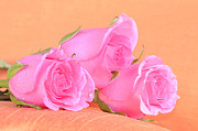 Green Seasonal Originals - Pink roses  by Tommy Hammarsten