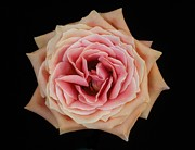 Carol Welsh - Pink Tinged Rose
