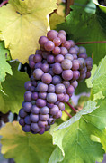Pinot Framed Prints - Pinot Gris Grapes Framed Print by Kevin Miller