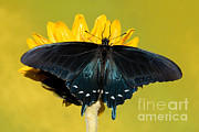 Pipevine Swallowtail Butterfly Prints - Pipevine Swallowtail Butterfly Print by Millard H. Sharp