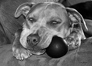 Droopy Prints - Pit Bull Dreams Print by Janice Rae Pariza