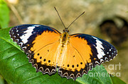 Orange And Black Butterfly Posters - Plain Tiger Butterfly Poster by Millard H. Sharp