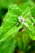 Cucumber Beetle Framed Prints - Poha Berry beetle Framed Print by Lehua Pekelo-Stearns