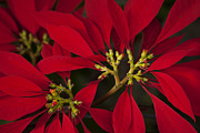 Beautiful Flowering Trees Posters - Poinsettia  - Euphorbia pulcherrima Poster by Sharon Mau