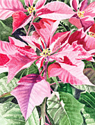Present Painting Framed Prints - Poinsettia Framed Print by Irina Sztukowski